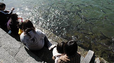 明神池のボラ